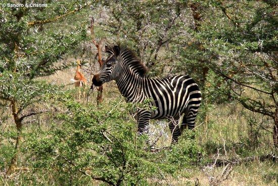 Tanzania - Selous Game Reserve - Molto diffidente