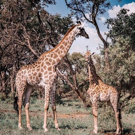 The giraffe is a beautiful animal and today I can tell you one trait of a giraffe is if you look at the giraffe you can quickly see that he has those horns and not just the bones that look like that horn, it is the only difference around Tanzania. (Asante sana Hakunamatata) ☺️