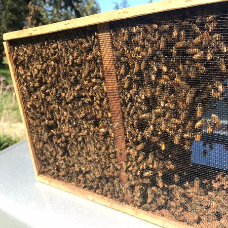 Wyspa Whidbey, Waszyngton: I started two new bee hives!