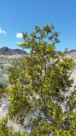 Shoshone, CA: Creosote bush in bloom along the White Hiking Trail in the spring