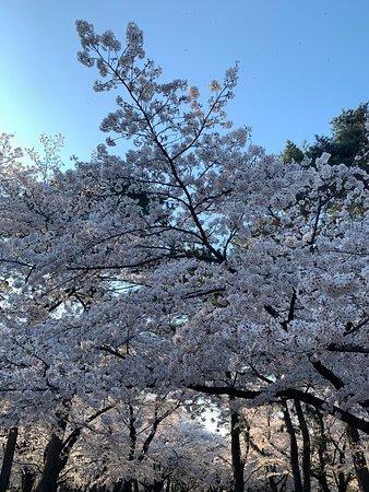 ボート池の桜も満開でした。