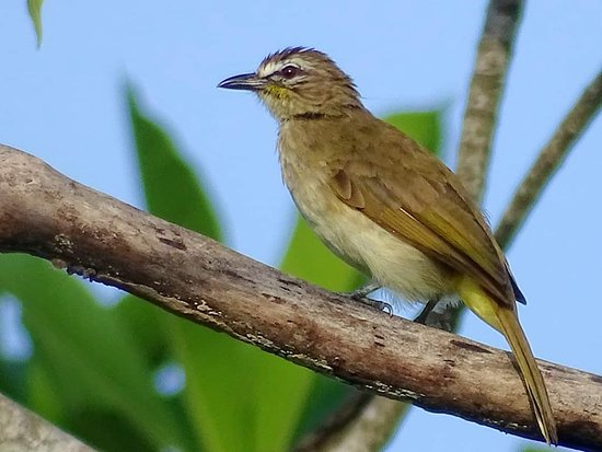 Galle District, ศรีลังกา: White brouwed Bulbul.