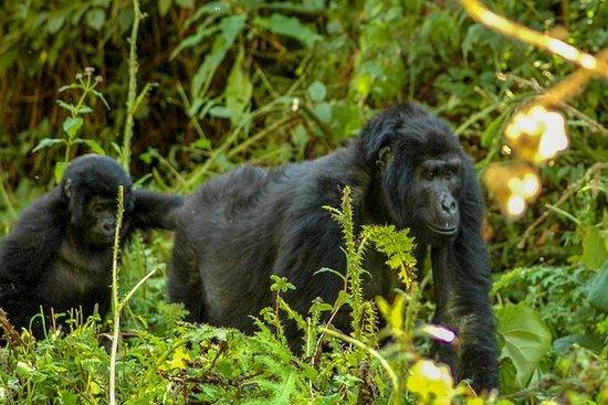 Trek mountain Gorillas in Bwindi