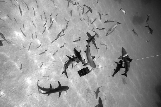 Eleuthera: sharks