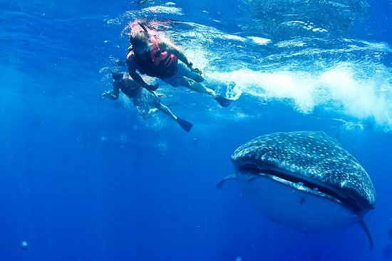 Whale Shark All-Inclusive Tour in...