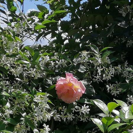 Sellia Marina, Italia: Una rosa 🌹 tra i gelsomini🇮🇹Una rosa🌹 entre el jazmín🇪🇸A rose 🌹 among the jasmin🇬🇧