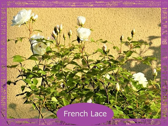 Sapporo, Japonya: French Lace☆☆☆ フレンチレース☆☆☆