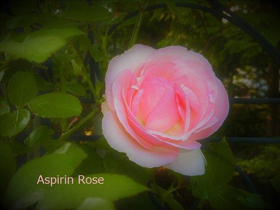 Sapporo, Japonya: Aspirin Rose ☆☆☆ アスピリン・ローズ☆☆☆