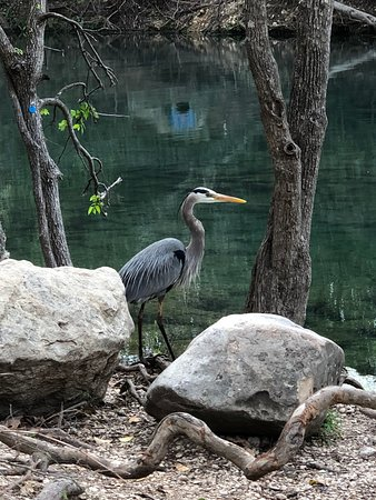 Blue heron near the boat rental - March 2020.