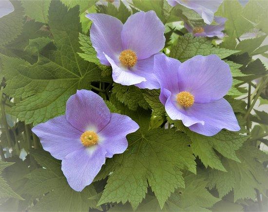 Sapporo, Japonya: While taking awalk ☆☆☆この花何の花気になる気になる名前も知らない花ですが~♪