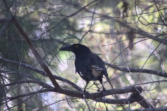 Caloundra, Australia: Pied Currawong can be seen in the park.