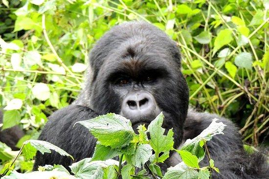 Auf dem Weg der Gorillas Safari 8...