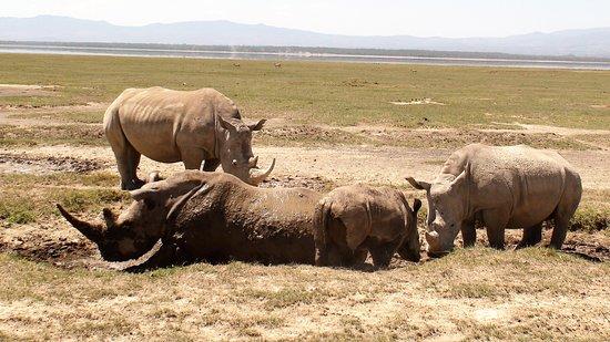 Lake Nakuru National Park, كينيا: Souvenirs de mes Voyages --- Kenya -- Lac Nakuru -- Petit bain de bout pour une famille rhinocéros