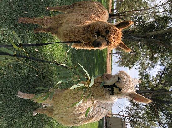 Mioshi Park Alpacas