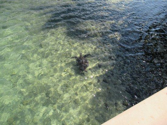 turtle in lagoon