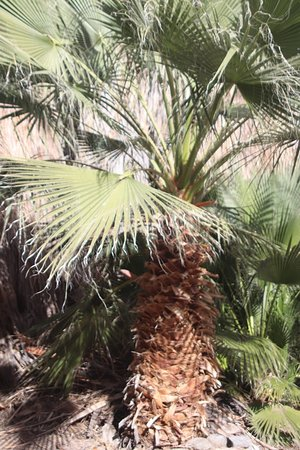 Salton City, Kalifornia: A palm tree