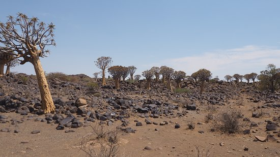 Keetmanshoop, Namibia: Quiver tree forest