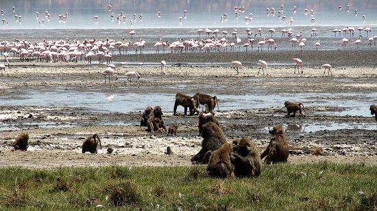 Lake Nakuru National Park, كينيا: Souvenirs de mes Voyages --- Kenya -- Tout le monde cohabite au bord du Lac Nakuru - Babouins & Flamands Rose