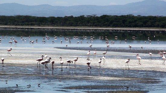 Lake Nakuru National Park, كينيا: Souvenirs de mes Voyages --- Kenya -- La migration des flamants rose commence