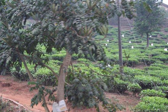 Thekkady, Hindistan: piantagioni di tè sui colli