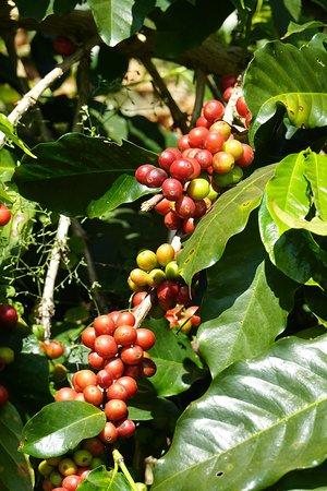 At the coffee Plantation