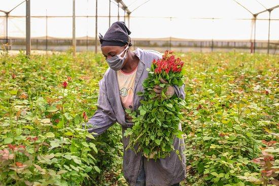 كينيا: Each flower carries with it the hopes and dreams of thousands of Kenyans that spend hours nurturing each stem, ensuring perfection in every bouquet that continues to spread love and compassion across the world #TheMagicAwaits #LiveTheMagic #MagicalKenya