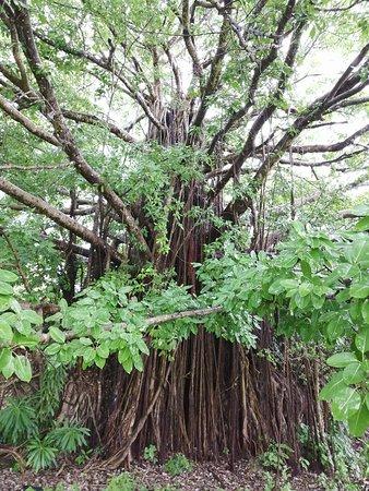Tanaraing, Indonesia: Многолетнее дерево .Более ста лет.