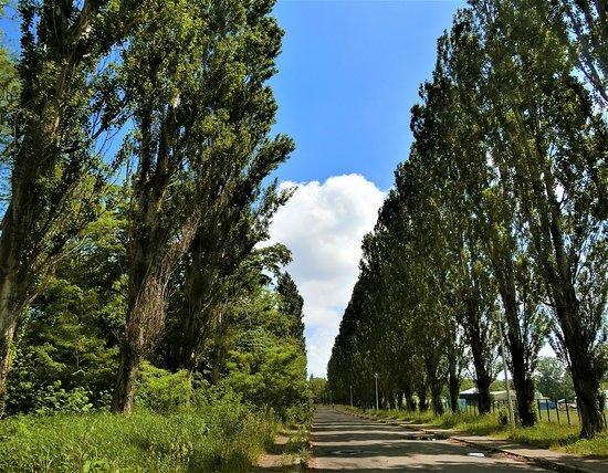 Hokudai Heisei Row of Poplar Trees