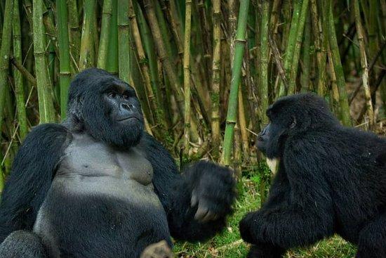 4-Day Gorilla Private Trekking Tour in Uganda with Full Board