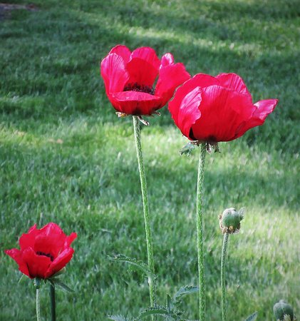 Peoria, IL: A Family of Poppies : 92 Degrees Fahrenheit. June 2020