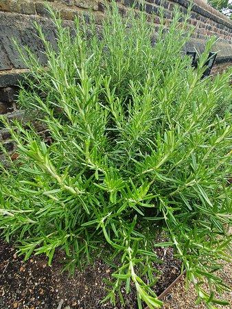 Medicinal Planting - Rosemary