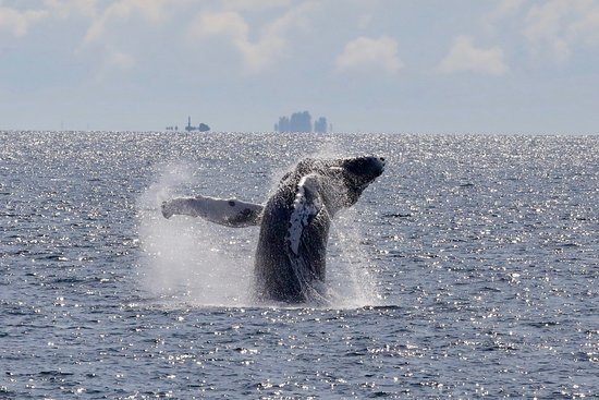 Prince Rupert, Kanada: A humpback whale propels its body it a powerful breach.
