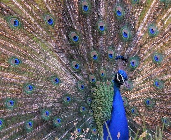 เนเธอร์แลนด์: Peacock
