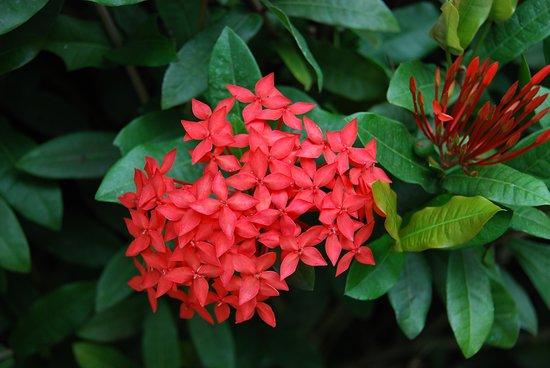 """Chonburi Province, Thailand: Souvenirs de mes Voyages --- Thaïlande --- Province de Chonburi -- Superbe Fleurs """" Ixora """" utilisées dans les cultes hindou --20.06.15"""