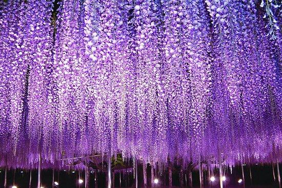 Jordgubbsplockning och Ashikaga Park med säsongsbetonade blommor-bild
