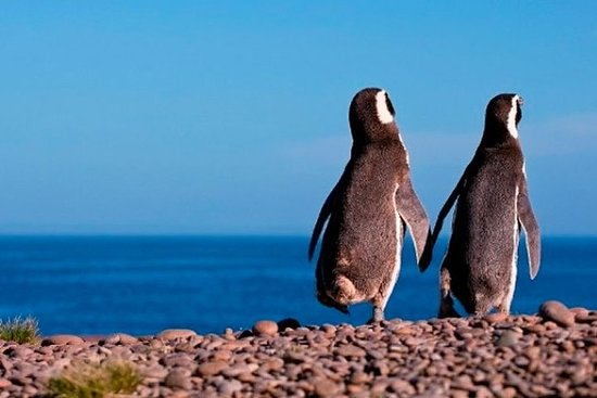 Pingüinos en Punta Tombo - Puerto Madryn