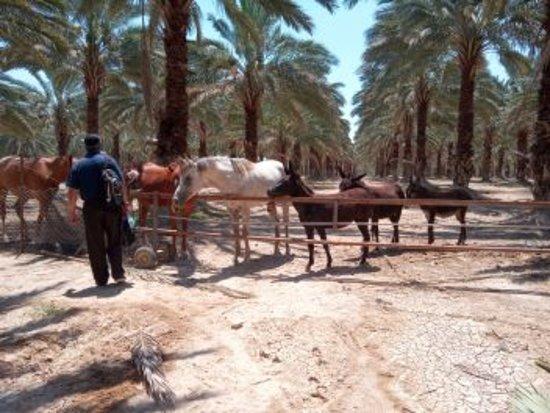 Jordan Valley, Israel: 'une palmeraie bio de la vallée du jourdain  à 1 heure de Jérusalem