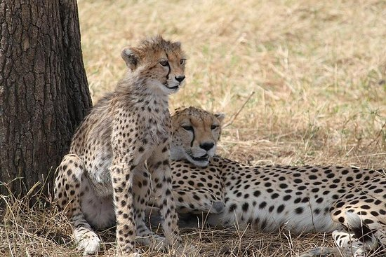Cheetah Safaris - Kenia