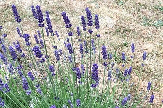Cornish Lavender