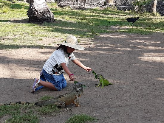 הואטולקו, מקסיקו: Alimentando a las Iguanas verdes en la isla de Ventanilla !  Feeding green iguanas on the island of Ventanilla !