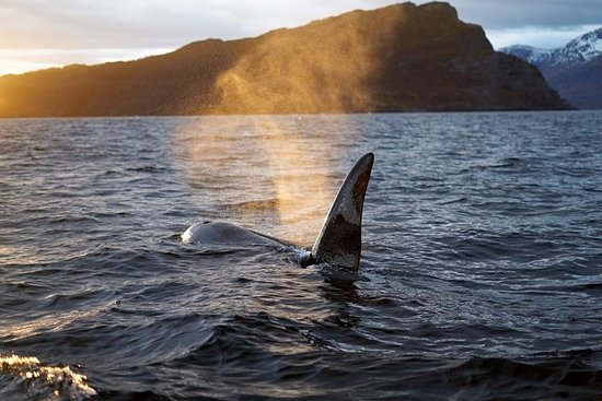 Tromso: Whale Watching onboard the...