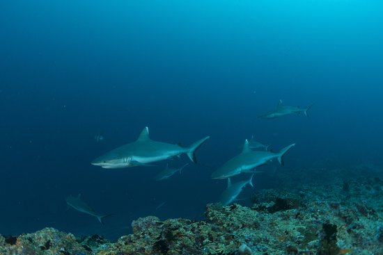 Grey Reef Sharks at Kandooma Thila