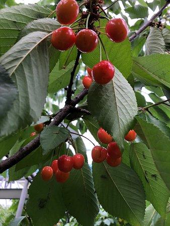 Cherry Garden Senchan