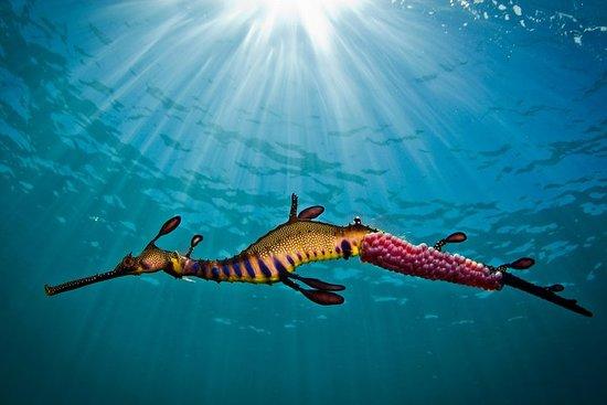 Port Phillip Bay Snorkeling con Sea Dragons