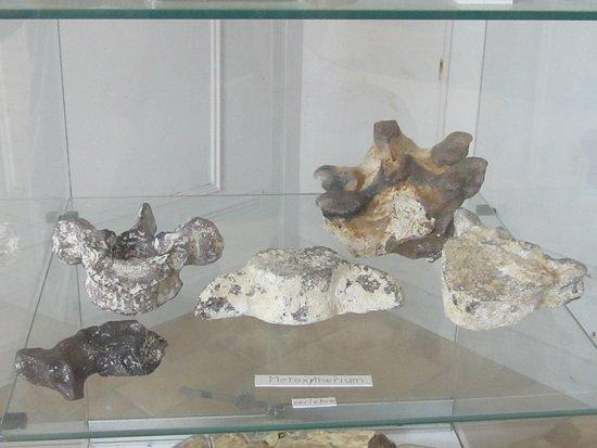 Musée du Savignéen. Sirénien 6. Vertèbres de Metaxytherium Medium. Juin 2020.