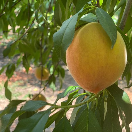 Fresh peaches from the farms in McDonough, Georgia. You pick experience with family and friends amidst this pandemic.