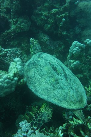 A big turtle in the reef at Muraine Bay