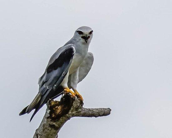 Surat Thani Province, Thailand: Black-winged Kite