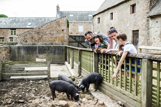 Piglets in the farm at Hamptonne - Picture of St. Lawrence, Jersey ...