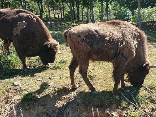 Spania: Bisontes 😍